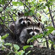 2-raccoon-in-tree