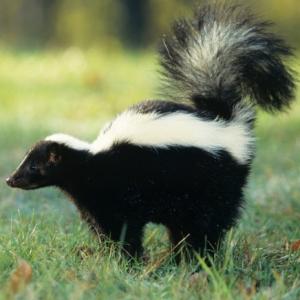 skunk control columbus