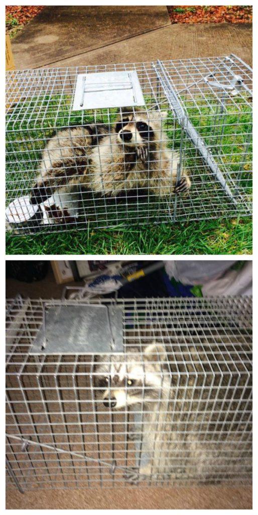 raccoons in attic columbus oh