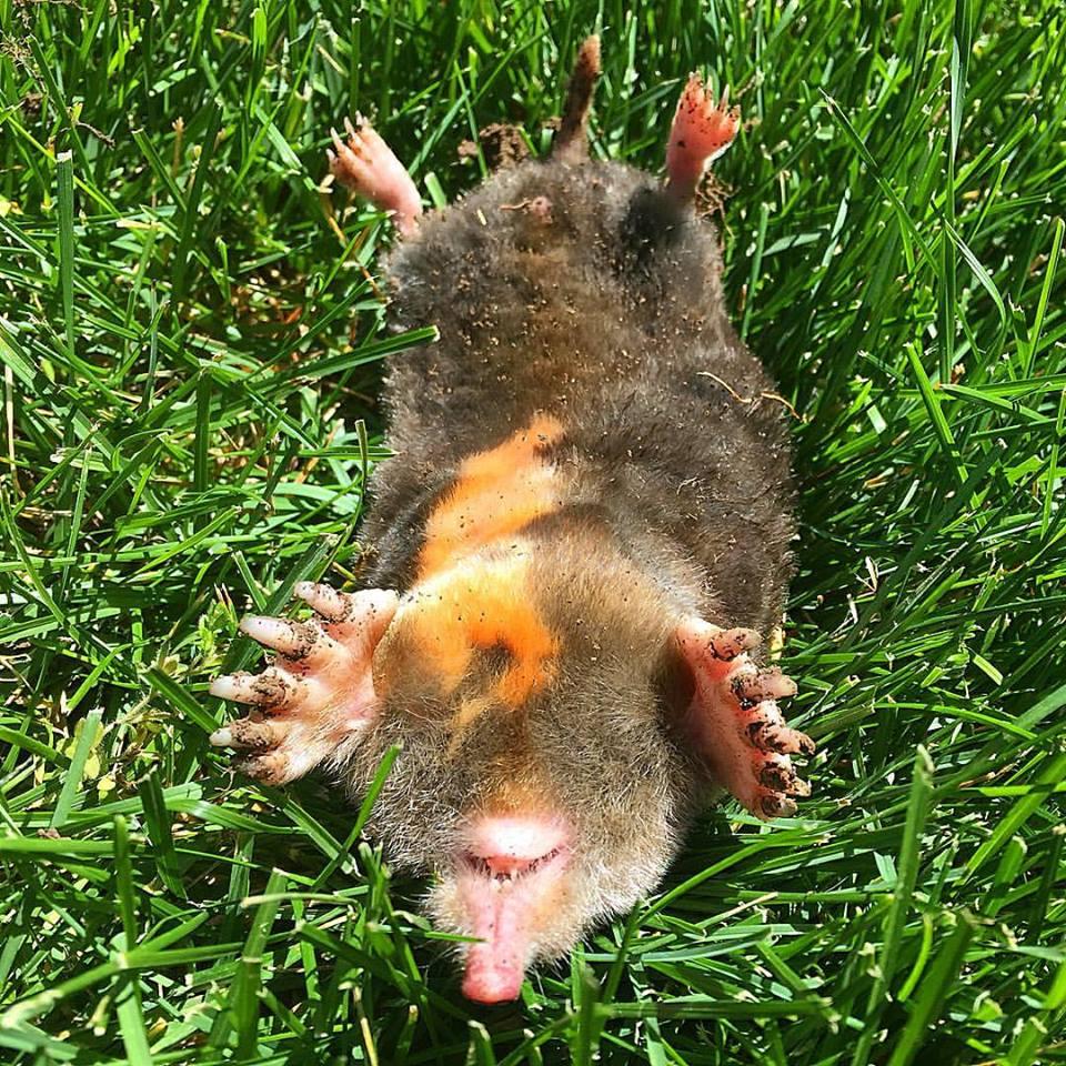 dead-mole