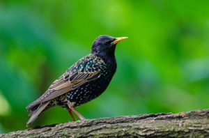 Bird Removal is an area of specialty for Columbus's own Buckeye Wildlife Solutions!