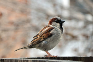 A House Sparrow in Columbus- Call for Professional Bird Removal Service