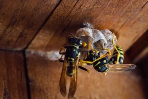 Yellowjackets building a nest in Columbus, Ohio.
