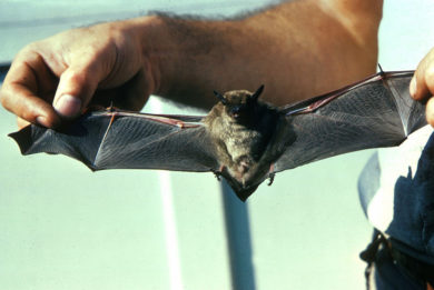 A Little Brown Bat caught during a Columbus Bat Removal Job.