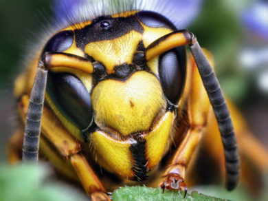 A closeup of a yellowjacket in Columbus, Ohio.