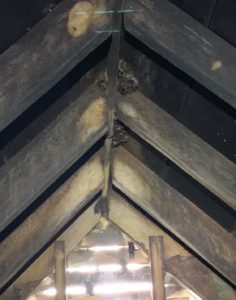 Bats clustered on the ceiling of a Columbus homeowner's attic.