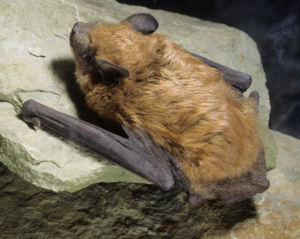 A big brown bat is released during an Ashland bat exclusion job.