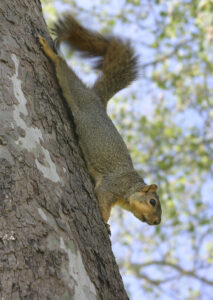Do It Yourself Squirrel Removal Can Help Prevent Critter Invasions.